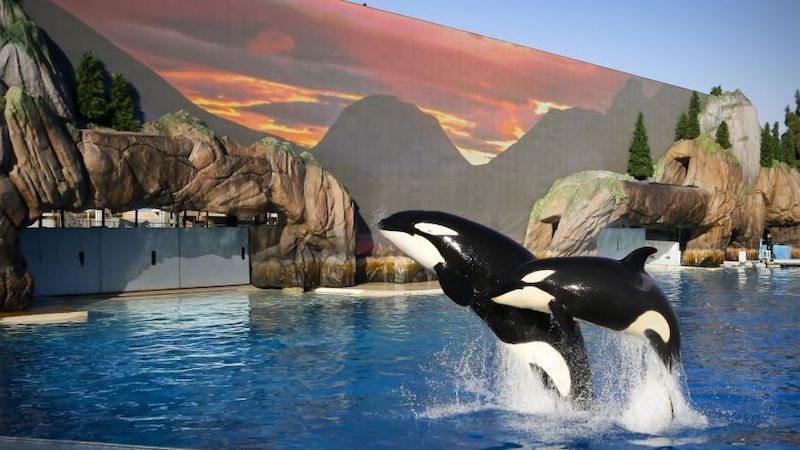 Show Orca Encounter no parque SeaWorld Orlando