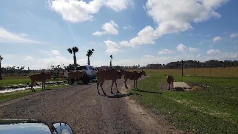 Parque Wild Florida Airboats & Gator: Drive-Thru Safari Park