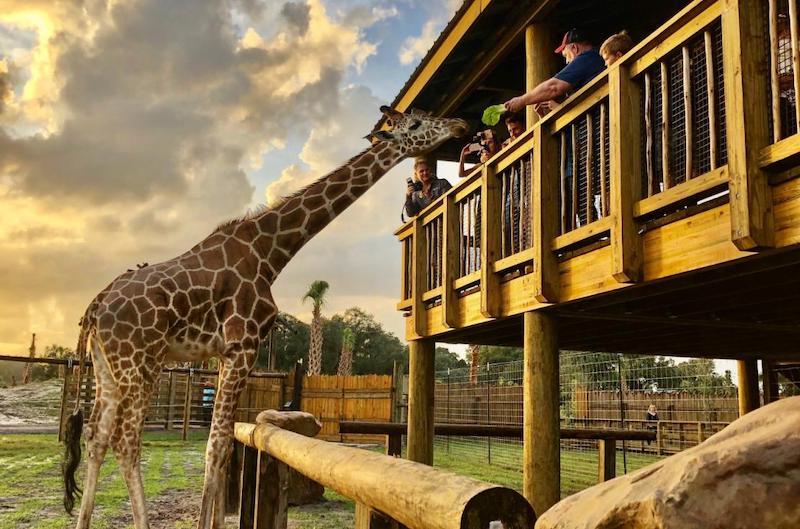 Parque Wild Florida Airboats & Gator: girafa